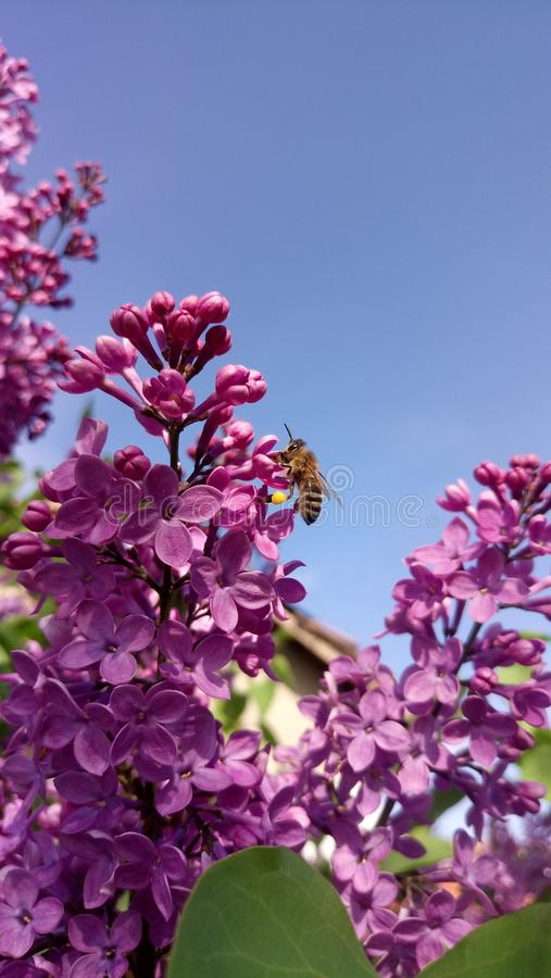 Lilas pollinisé par abeille photos stock