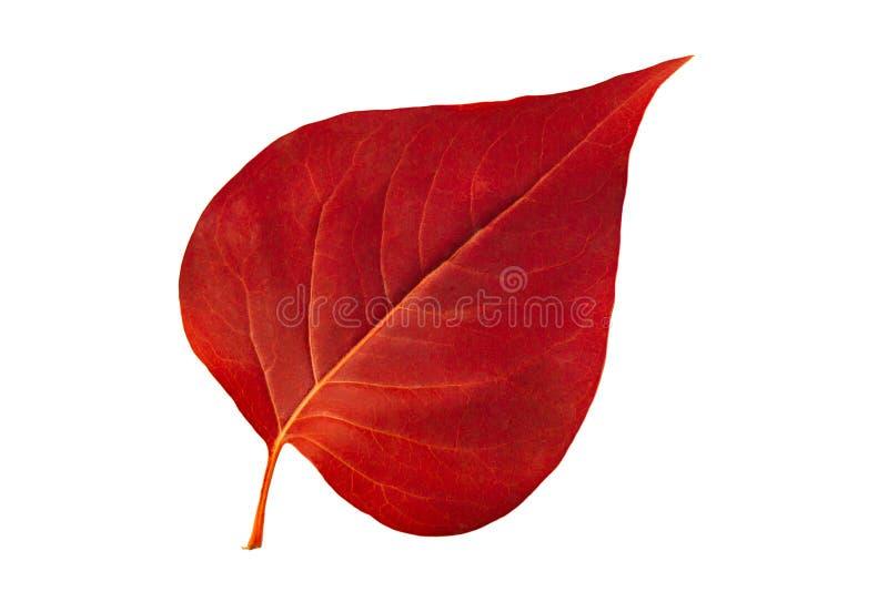 Lilas rouge de lame d'automne sur le fond blanc photos libres de droits
