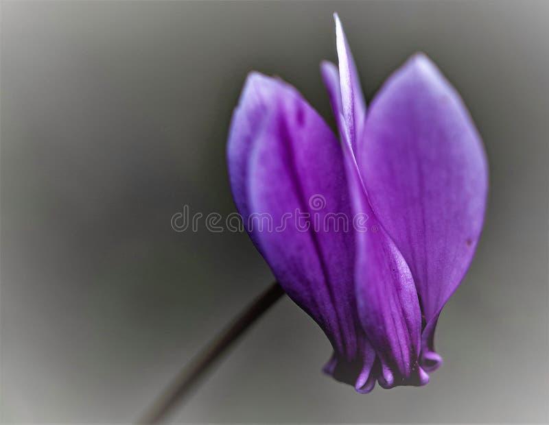 Lilas succulent de `, macro de ` de cyclamen nivéal singulier photo libre de droits