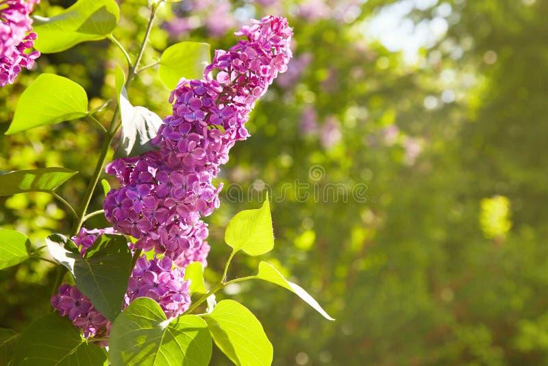 lilas Lilas, syringa ou seringue Fleurs pourpres colorées de lilas avec les feuilles vertes photo libre de droits