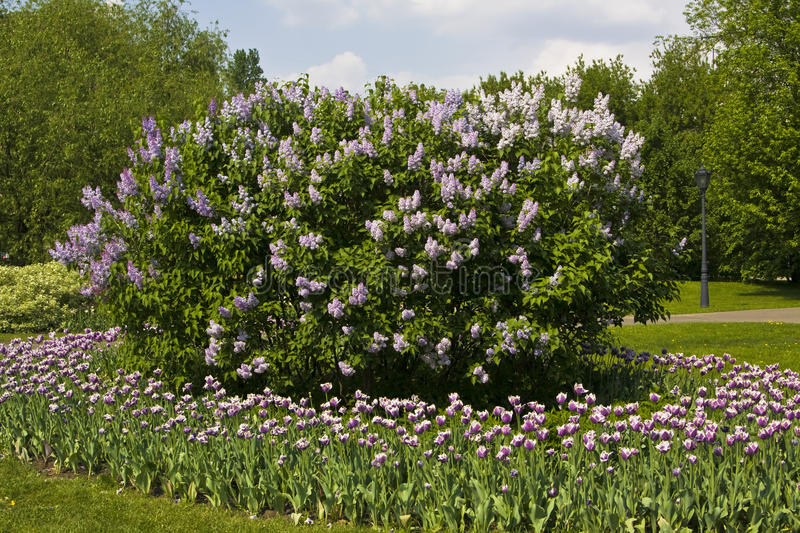 Lilas and tulips in garden stock photography
