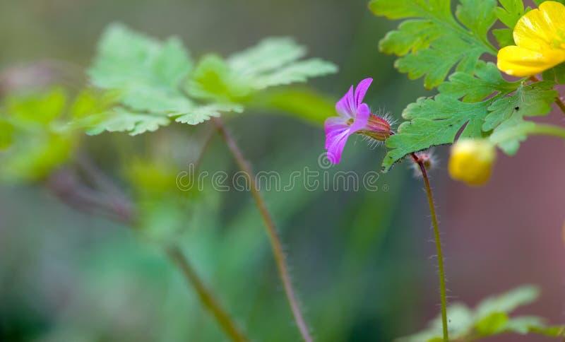 Lilavårblomma i naturen royaltyfri fotografi