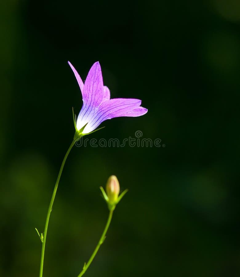 Lilavårblomma i naturen royaltyfria foton
