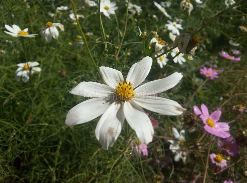 Lili blomma royaltyfri bild
