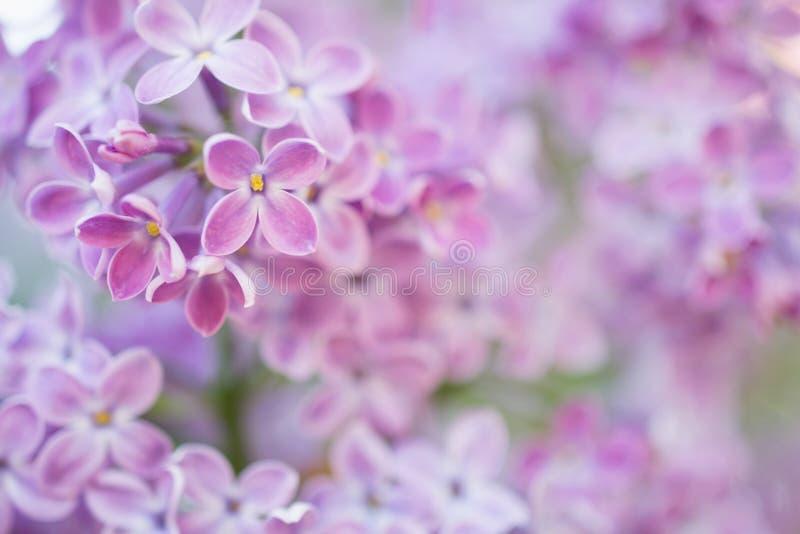 Lili kwiatu okwitnięcia kwiaty w wiosna ogródzie Miękka selekcyjna ostrość tła naturalny kwiecisty obraz royalty free