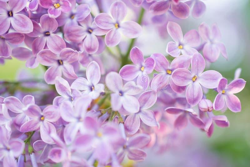 Lili kwiatu okwitnięcia kwiaty w wiosna ogródzie Miękka selekcyjna ostrość tła naturalny kwiecisty obrazy royalty free
