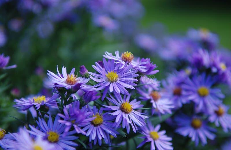 Lili kwiaty obraz stock