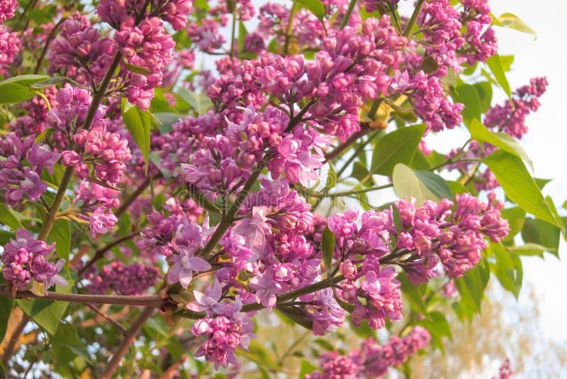 Lili kwiaty - Akcyjna fotografia zdjęcia royalty free