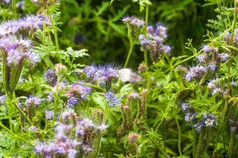 Lili kwiaty koronkowy tansy i wielki kapuścianego bielu motyl miodowych rośliien purpur lub phacelia fotografia royalty free