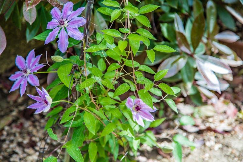 Lili kwiaty passionflower fotografia stock