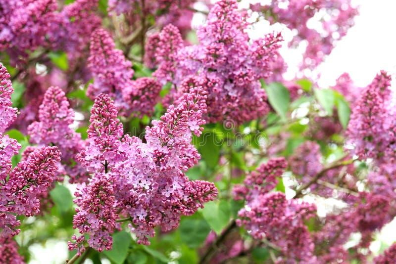 lili kwitnący kwiaty obraz royalty free