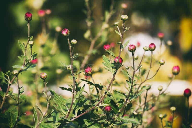 Lili pączki zimnotrwały ogrodowy mum na zamazanym tle zdjęcia royalty free