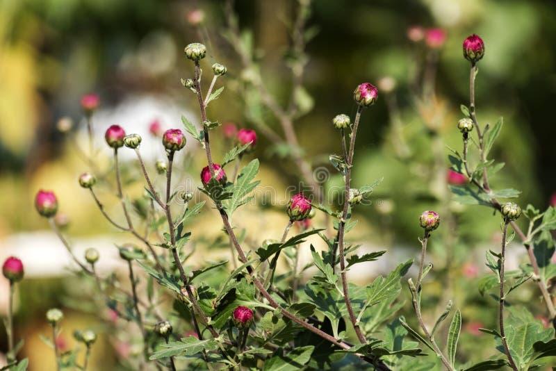 Lili pączki zimnotrwały ogrodowy mum na zamazanym tle zdjęcie royalty free