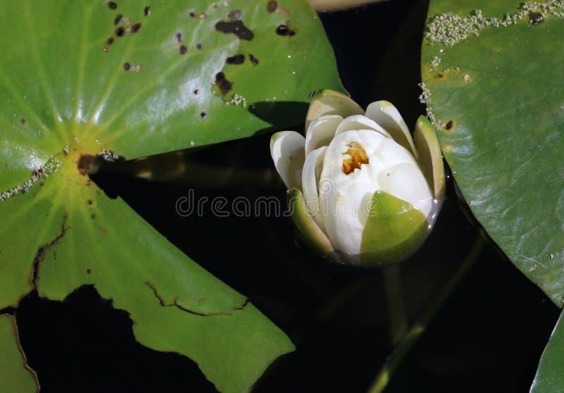 Lili Pad Flower arkivfoton