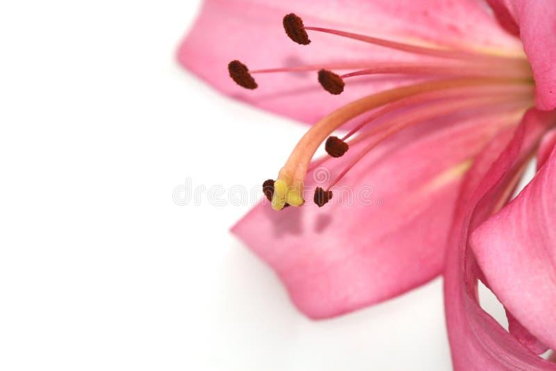 lilia zdjęcie stock