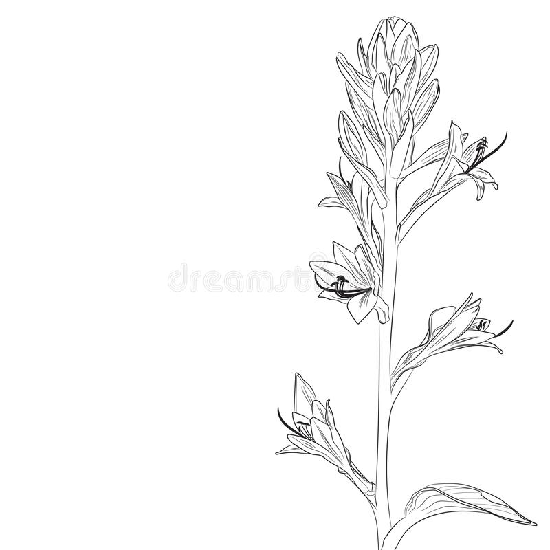 Lilia, Hosta isolated on white background. royalty free illustration