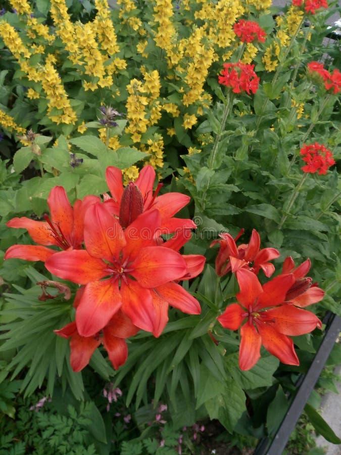 Lilian vermelha no canteiro de flores do Loosestrife amarelo fotografia de stock royalty free