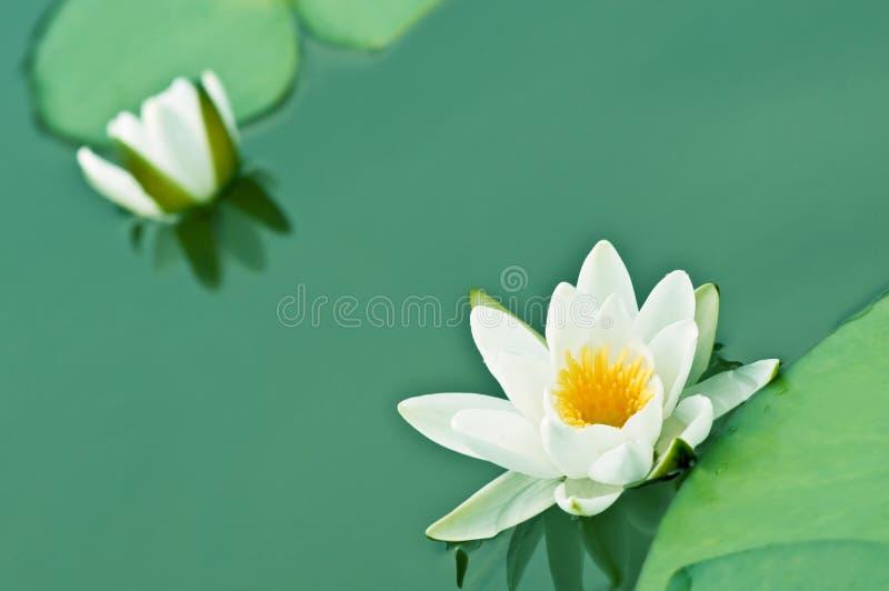 Lilie stockfotografie