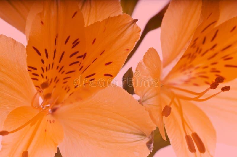 Lilie stockfotos