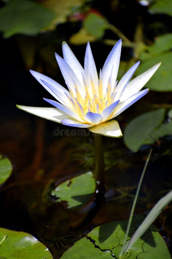 Lilie des blauen Wassers stockfoto