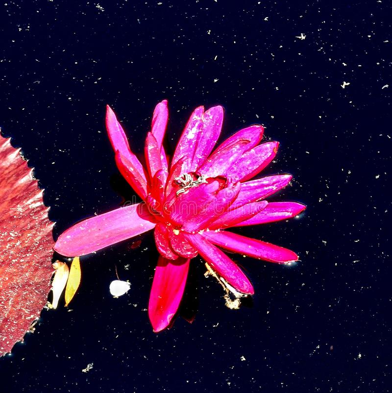 Lilie des roten Wassers stockfotos