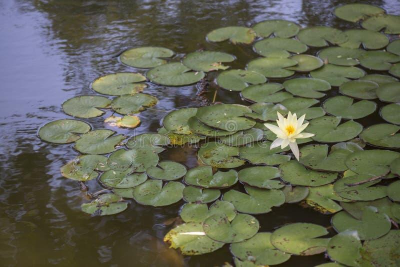 Lilie des weißen Wassers im Teich lizenzfreie stockfotografie