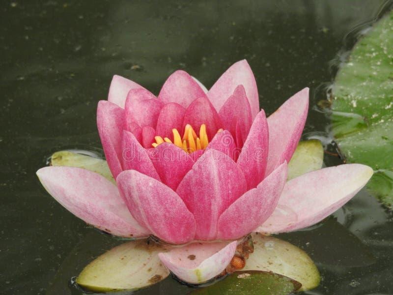 Lilie in einem Teich stockbilder