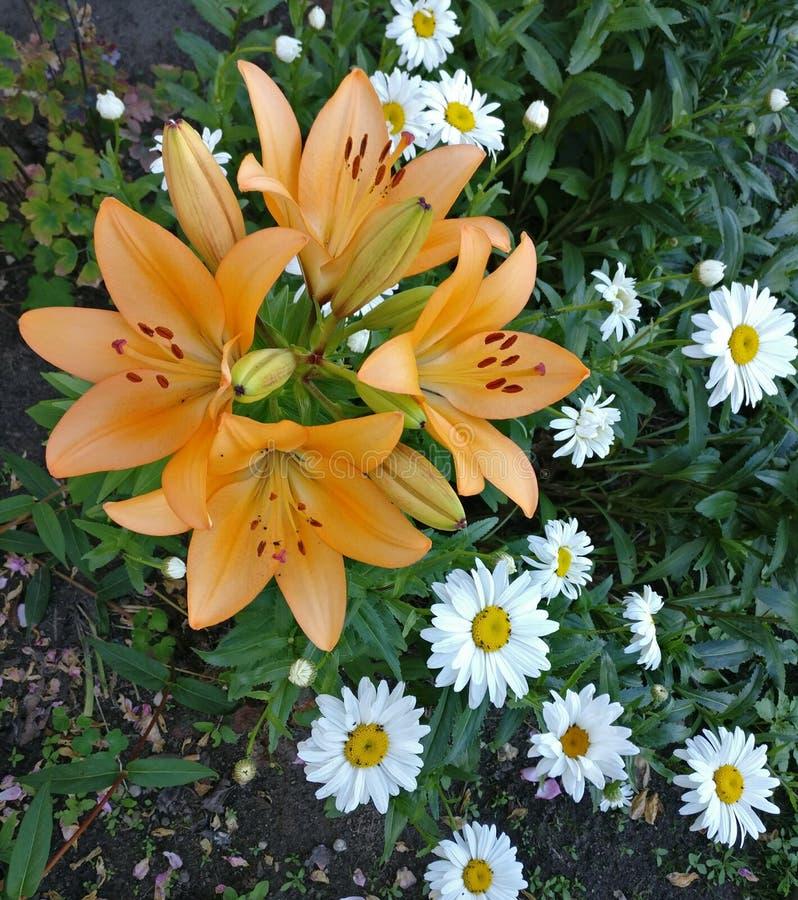 Lilie im Garten lizenzfreie stockfotografie
