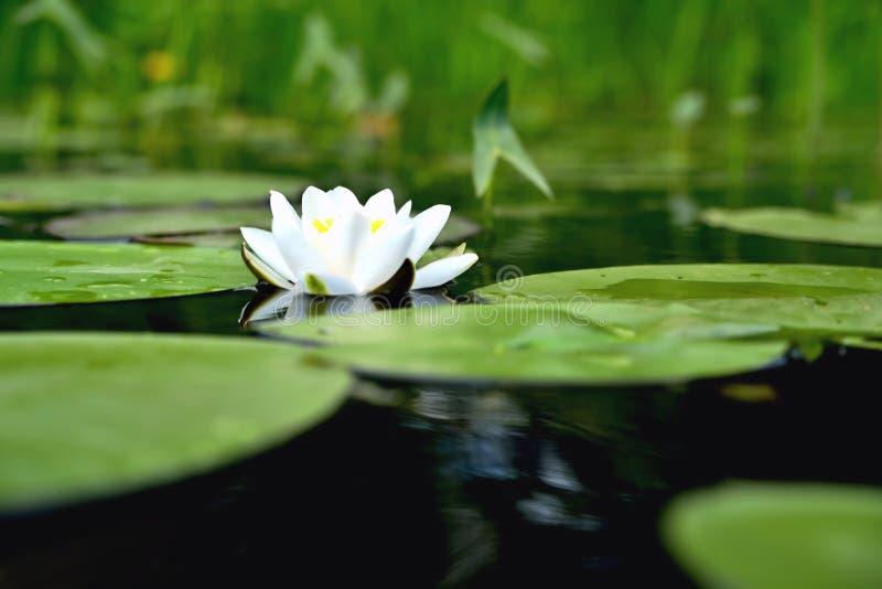 Lilie im Wasser vor dem hintergrund der grünen Blätter stockbild