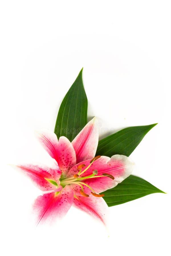 Lilie mit Blättern stockbild