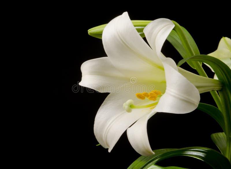 Lilie mit großer Blüte stockfotografie