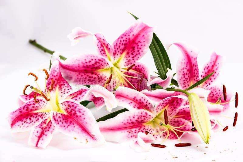 lilie różowią kilka zdjęcie stock