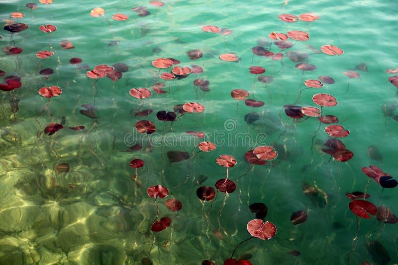 Lilie am See blutete Slowenien lizenzfreie stockfotos