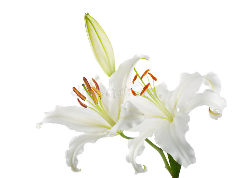 Lilien lizenzfreies stockbild