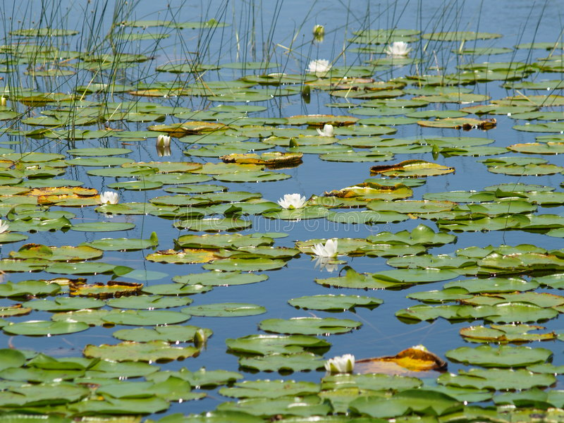 Lilien in einem See lizenzfreie stockbilder