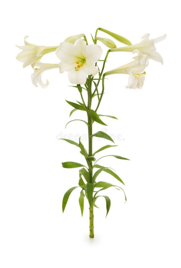 Lilien getrennt lizenzfreie stockfotografie