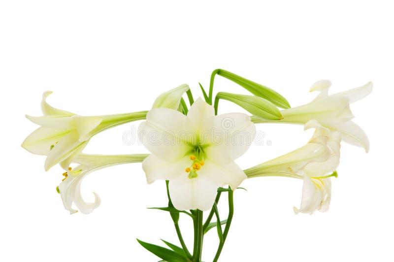 Lilien getrennt stockfotos