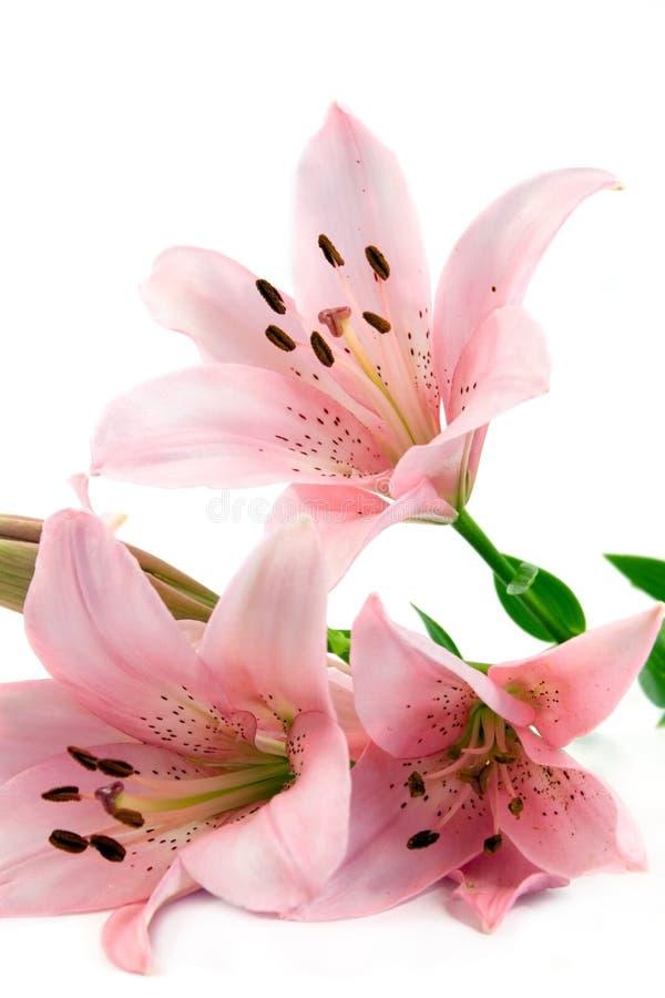 Lilien getrennt auf Weiß stockfoto