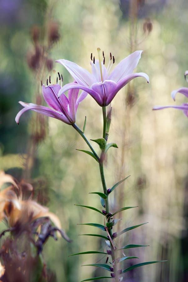 Lilien im Garten lizenzfreies stockbild