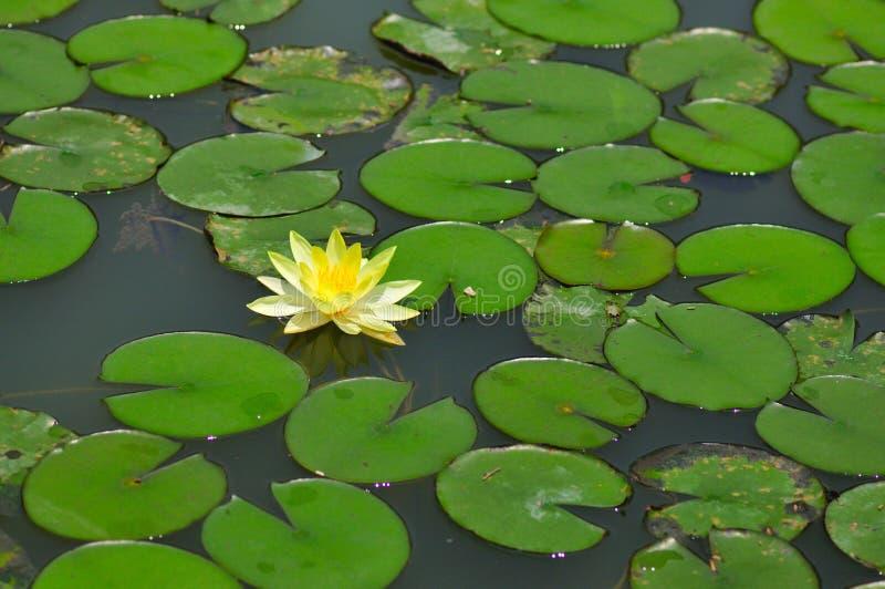 Lilien-Teich stockfotos