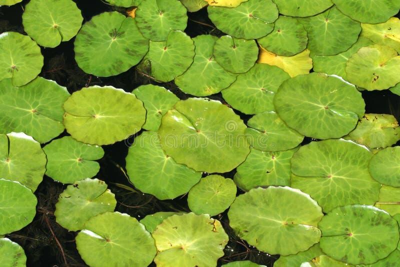 Lilienauflage lizenzfreie stockfotografie