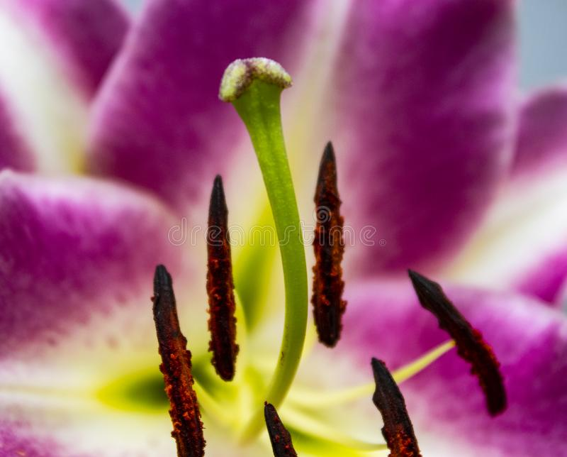 Lilienbaumblüte lizenzfreies stockbild