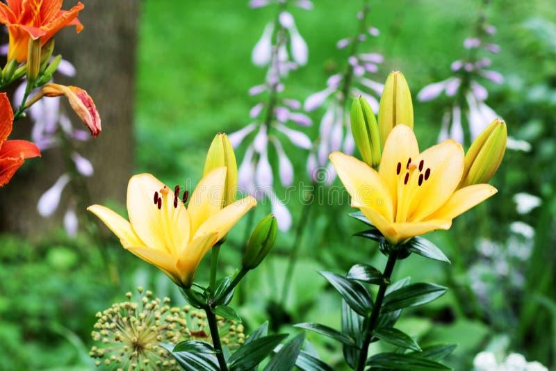 Lilienblume im Gras lizenzfreies stockfoto