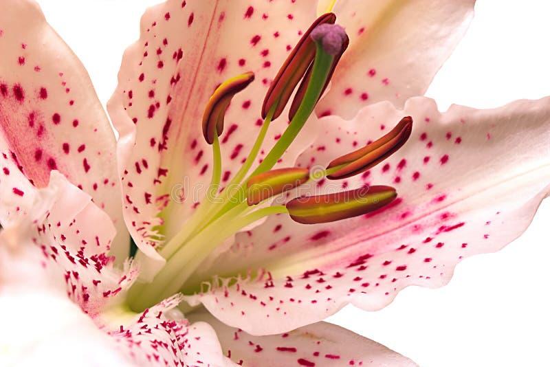 Liliendetails lizenzfreie stockfotos
