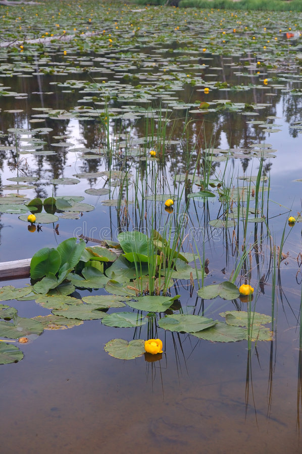 Free Lilies Stock Photography - 1235412