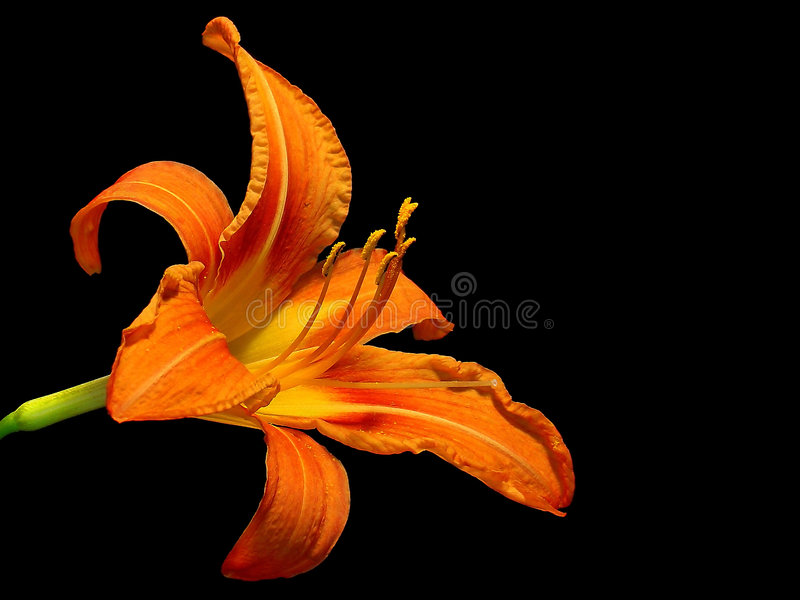 Lilies royalty free stock photography