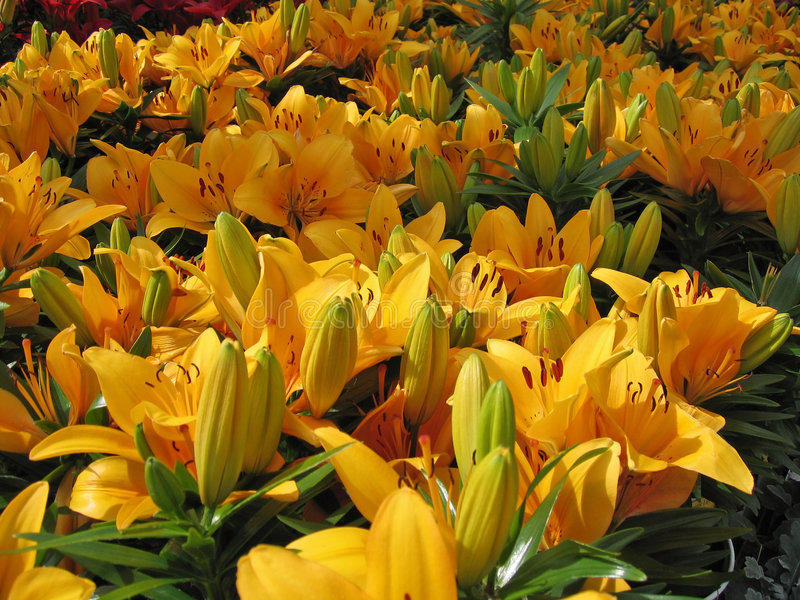 Lilies. Yellow Day Lilies for Sale at Retail royalty free stock photo