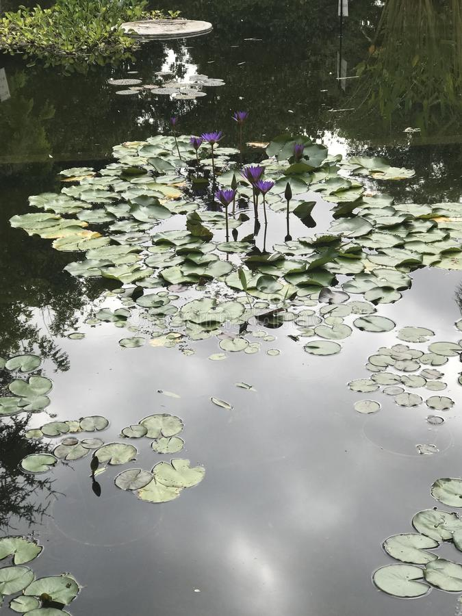 Lilies in an artificial reservoir stock photography