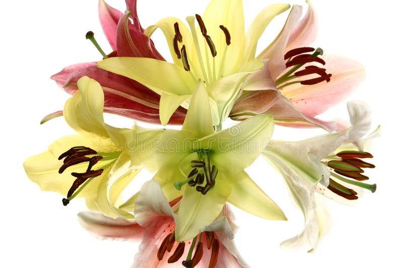 Lilies flowers isolated on white background. royalty free stock images