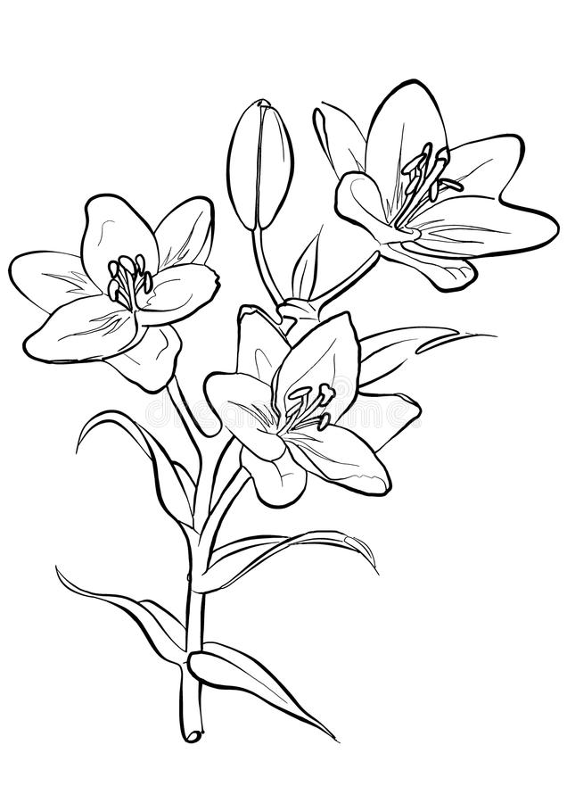 Download Lilies. Freehand Drawing. Stock Photos - Image: 10473813
